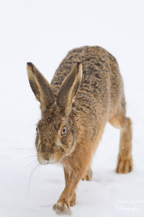 Brown Hare, Lepus europaeus, moving through snow towards camera, Wirral, March