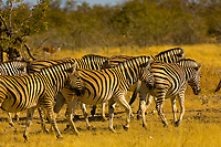 A herd of zerbra, Etosha National Park, Namibia