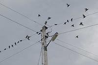 Birds in flight from telegraph wire