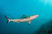 Grey Reef Shark (Carcharhinus amblyrhynchos)<br /> In shallow water on coral reef<br /> Benga Lagoon, Viti Levu<br /> Fiji. South Pacific