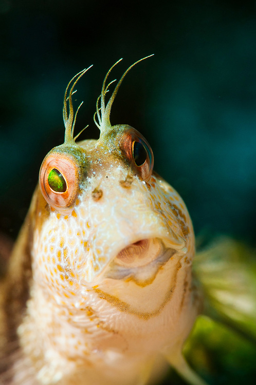 Close up image of the face of a Seaweed blenny (Parablennius marmoreus) off Eleuthera, Bahamas.