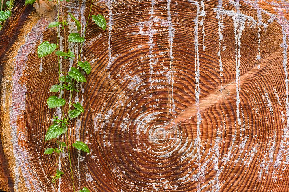 Windfall evergreen tree cross-section, Little River Trail, Olympic National Park, Washington, USA
