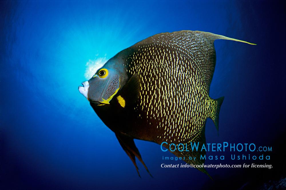 French angelfish, Pomacanthus paru, The Ridges, Islamorada, Florida Keys National Marine Sanctuary, Atlantic Ocean (dc)