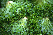 Close up selective focus photograph of some heads of Green Leaf lettuce