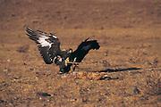 Golden eagle on dragged prey<br /> (Aquila chrysaetos)<br /> Kazakh annual eagle festival<br /> Western Mongolia