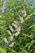 Bay Willow - Salix pentandra