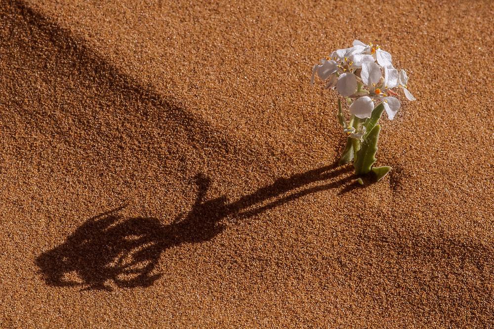Primrose wildflower, morning shadow, spring, Green River Canyon, Canyonlands National Park Utah, USA