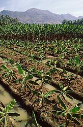 Banana plantation in Tamil Nadu; India,