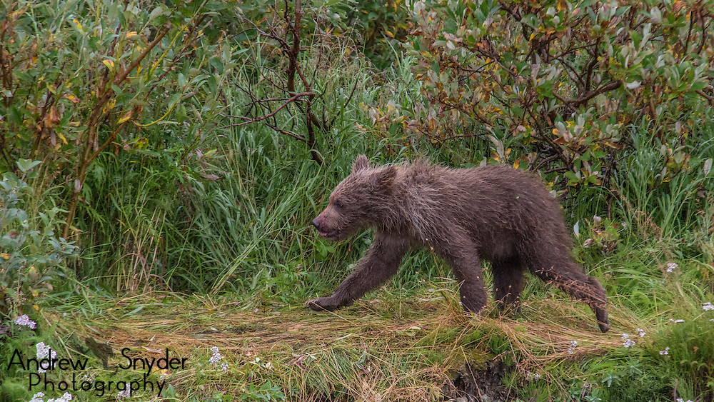 A small brown bear cub walks along the bank of the river - Katmai, Alaska