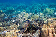 green sea turtle or honu, Chelonia mydas ( Threatened Species ), rests on a shallow coral reef off Kahekili Beach Park, Ka'anapali, West Maui, Hawaii, USA ( Central Pacific Ocean )