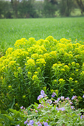 Euphorbia palustris 'Walenburg's Glorie' with Geranium libani in the foreground