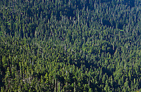 A conifer forest, Mount Rainier National Park, Washington, USA.