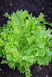 Lettuce 'Tango'