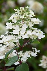 Hydrangea paniculata 'Wim's Red' in July