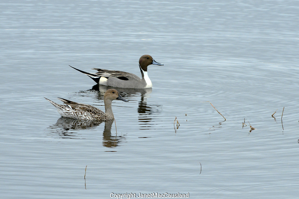 A pair of Common Pintails (Anas acuta) swims by in Florida during the winter.