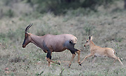 A female topi (Damaliscus lunatus jimela) followed by her calf  runs through dry grass. Serengeti National Park, Tanzania.