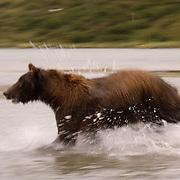 Alaskan Brown Bear (Ursus middendorffi) Adult running through water fishing for salmon. Katmai National Park. Alaska.
