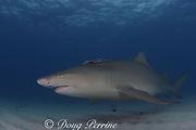lemon shark, Negaprion brevirostris, with sharksucker or remora, Echeneis naucrates, Bahamas ( Western Atlantic Ocean )