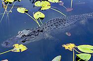 Alligator in Everglades National Park, Florida, USA