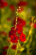 Red Drummond Phlox, Memorial Park, Houston, Texas