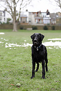 This is Ziggy, a young labradoodle (labrador crossed with a standard poodle)
