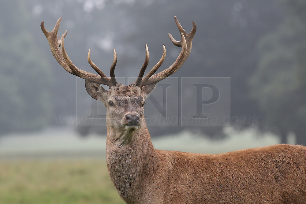© Licensed to London News Pictures. 15/09/2016. Ripon, UK. © Licensed to London News Pictures.  A red deer stag in the early morning fog of a hot autumn day at Studley Royal deer park at Fountains Abbey near Ripon in North Yorkshire. Photo credit : Ian Hinchliffe/LNP