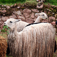 Americas, South America, Peru. Suri Alpaca, valued for their wool for weaving textiles, at Awana Kancha in the Urubamba Valley.