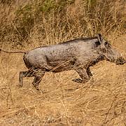 20211007 Kasane Botswana <br /> Chobe Nationalpark <br /> Vårtsvin<br /> ----<br /> FOTO : JOACHIM NYWALL KOD 0708840825_1<br /> COPYRIGHT JOACHIM NYWALL<br /> <br /> ***BETALBILD***<br /> Redovisas till <br /> NYWALL MEDIA AB<br /> Strandgatan 30<br /> 461 31 Trollhättan<br /> Prislista enl BLF , om inget annat avtalas.