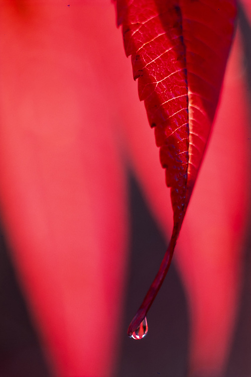 Sumac leaf with water drop, autumn, Great Smoky Mountains National Park, Tennessee, USA