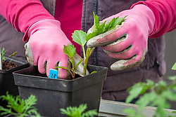 Taking dahlia cuttings from Dahlia 'Nuit d'Ete' in spring