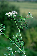 FOOL'S-PARSLEY Aethusa cynapium (Apiaceae) Height to 50cm. Delicate, hairless annual with slender, ribbed stems. Found in gardens and arable fields. FLOWERS are white and borne in umbels, 2-3cm across, the secondary umbels have a 'beard' of long upper bracts (Jun-Aug). FRUITS are egg-shaped and ridged. LEAVES are 2-pinnate, flat and triangular in outline. STATUS-Commonest in S.