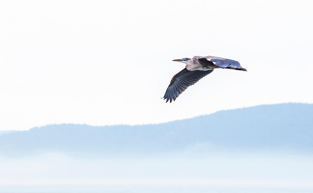 A Blue Heron in flight, Salish Sea.