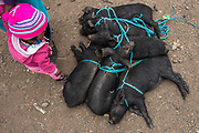 Piglets for sale<br /> Calpi animal market<br /> Parish of Riobamba, Chimborazo Province<br /> Andes<br /> ECUADOR, South America