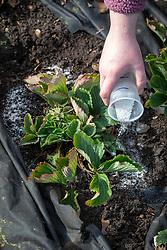 Feeding strawberry plants in spring with granular fertiliser