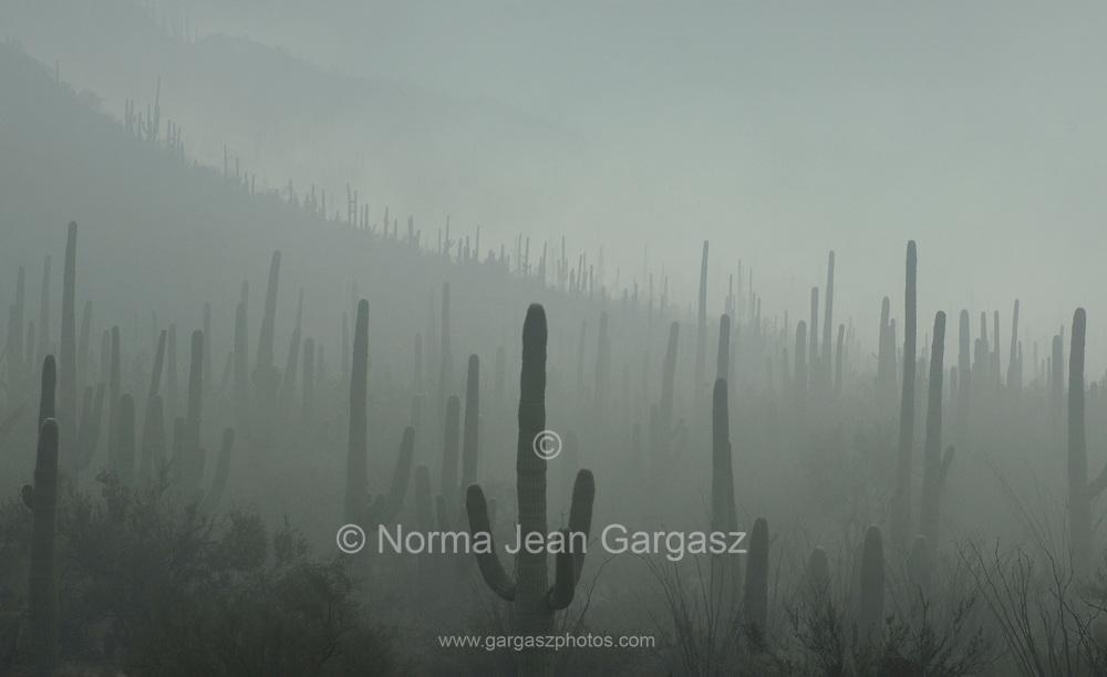 Fog weaves it's way through Saguaro National Park in the Sonoran Desert, Tucson, Arizona, USA.