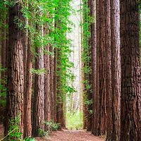 Californian Redwoods (Sequoia sempervirens) form a forest outside the town of  Warburton, Victoria, Australia.
