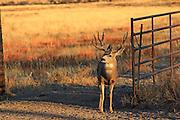 Trophy mule deer buck passes through gate on a ranch.