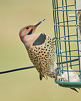Northern Flicker (Colaptes auratus). Image taken with a Fuji X-T3 camera and 200 mm f/2 lens + 1.4x teleconverter.