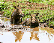 Warthog (Phacochoerus africanus) rolls in the mud Photographed at Ngorongoro Conservation Area (NCA) Tanzania