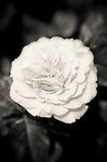 Rose detail, Paris, France