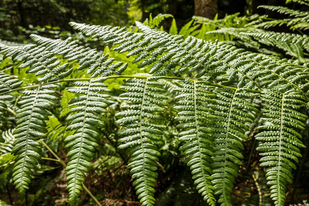 Fern Closeup- Hoh Rain Forest, Olympic National Park, Washington, USA.
