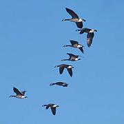 Canada Goose, (Branta candensis) In flight. Winter. Minnesota.