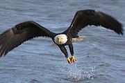 Bald Eagle, Haliaeetus leucocephalus, Kenai Peninsula, Homer Spit, Homer, Alaska. Digital original, #2006_0251  ©Robin Brandt