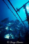 Atlantic spadefish, Chaetodipterus faber, wreck of the Blue Fire, of Homestead, Florida near Miami ( Western Atlantic Ocean )