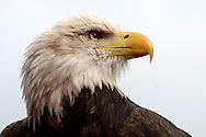 the Crystal Palace Eagle looks on before k/o. Barclays Premier League match, Crystal Palace v West Bromwich Albion at Selhurst Park in London on Saturday 3rd October 2015.<br /> pic by John Patrick Fletcher, Andrew Orchard sports photography.