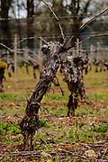 vine at Foris Winery & Vineyards