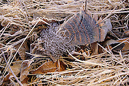 00845-00219 Wild Turkey (Meleagris gallopavo) feather with frost    IL