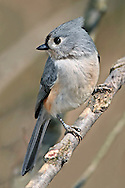 Tufted Titmouse, Parus bicolor, Looking Over The Shoulder