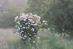 A rose growing in the misty dawn light in the orchard meadow at Sissinghurst Castle Garden