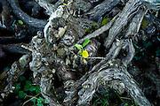 Old pruned vine stalks in wine region of Bordeaux, France